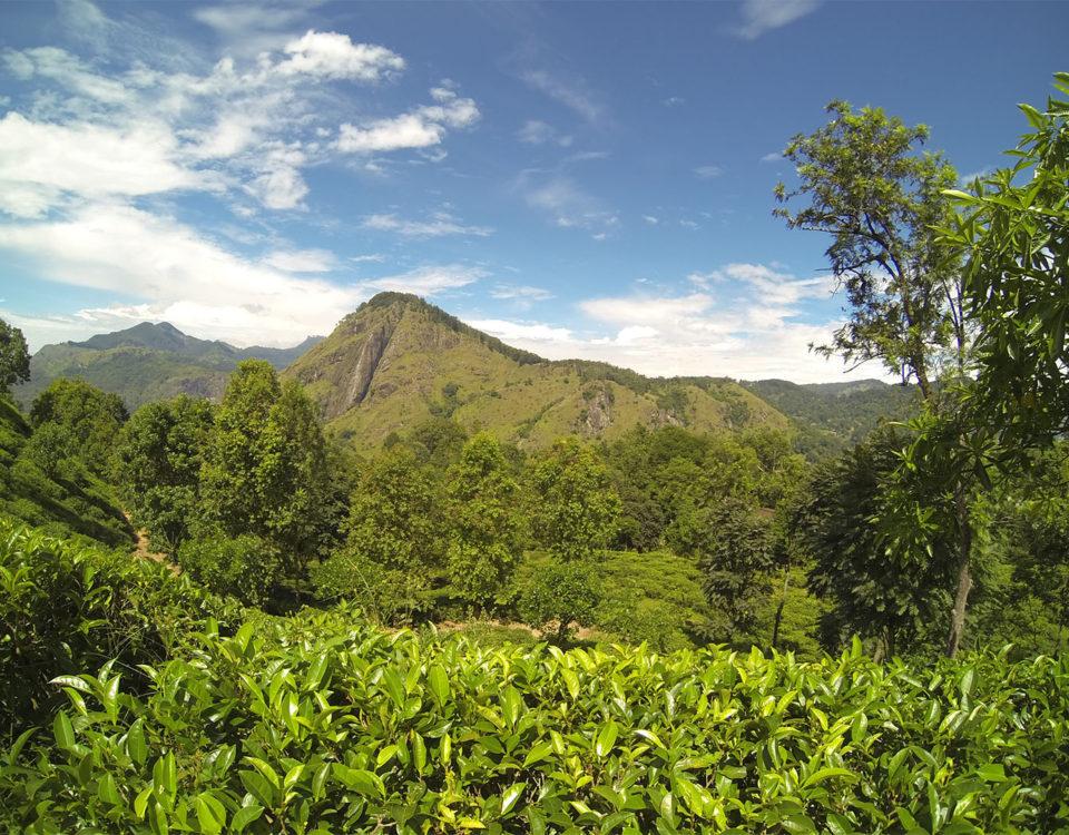 Sri lanka cajova tour